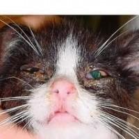 cat has fever
